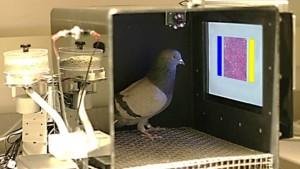 Tumori: i piccioni li vedono