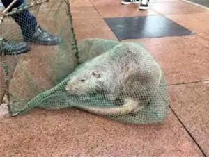 YOUTUBE Ratto mutante gigante catturato all'università