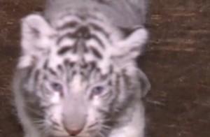 Cina, i primi passi dei cuccioli di tigre bianca