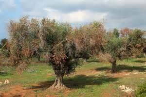 Xylella, ulivi sequestrati in Salento: 10 indagati