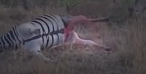 Leopardo morde: dalla zebra esce sangue a spruzzo