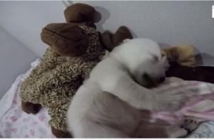 Cucciolo orso polare dorme abbracciando un peluche