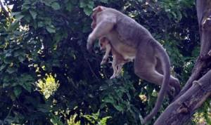 Guarda la versione ingrandita di Cane adottato dal macaco. In cerca di cibo insieme FOTO