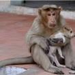 Cane adottato dal macaco. In cerca di cibo insieme7