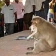 Cane adottato dal macaco. In cerca di cibo insieme3