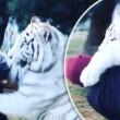 "Lewis Hamilton ""abbraccia"" tigre bianca in Messico"