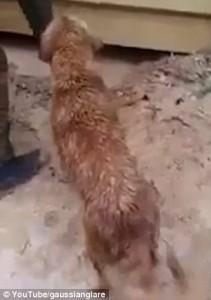 Guarda la versione ingrandita di YOUTUBE Mamma cane salva cuccioli nel fango e acqua