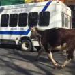 Mucca in strada a New York era scappata da macello FOTO 2