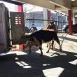 Mucca in strada a New York era scappata da macello FOTO