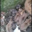 Napoli, cagnolina partorisce 12 cuccioli in strada2