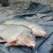 Pesce siluro da 2,72 metri pescato nel Po