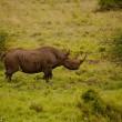 Rinoceronti si accoppiano nel parco in Kenya2
