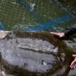 Vietnam, morta la tartaruga sacra Cu Rua FOTO-VIDEO