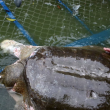Vietnam, morta la tartaruga sacra Cu Rua FOTO-VIDEO 4
