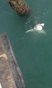 YOUTUBE Squalo bianco abbocca a canna da pesca in California