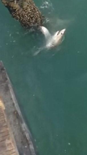 Squalo bianco abocca a canna da pesca in California4