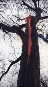 VIDEO Albero del Diavolo: fiamme senza fumo, non brucia e…