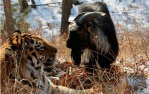 YOUTUBE Capra diventa amica di tigre: doveva essere la cena