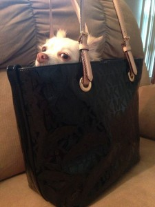 "Invalida respinta dall'Ipercoop: ""Ha un chihuahua in borsa"""