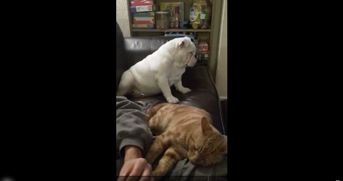 YOUTUBE Bulldog geloso del gatto per..le gambe del padrone 2