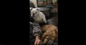 Guarda la versione ingrandita di YOUTUBE Bulldog geloso del gatto per..le gambe del padrone