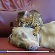 Gatto seduce cane: il VIDEO è virale, ecco perché...