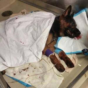 Guarda la versione ingrandita di Jethro, cane poliziotto ferito star di Instagram FOTO