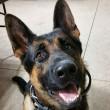 Jethro, cane poliziotto ferito star di Instagram FOTO2