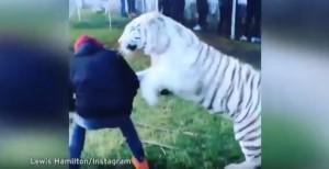 """YOUTUBE Lewis Hamilton """"abbraccia"""" tigre bianca in Messico"""