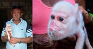 YOUTUBE Il maialino con la faccia di scimmia. Perché?