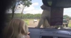 YOUTUBE Safari, scimmie si accoppiano su auto. E la bimba...