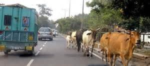 Mucche a New Delhi