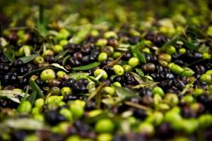Olive con insetti e muffe: sequestrate 500 tonnellate a Bari