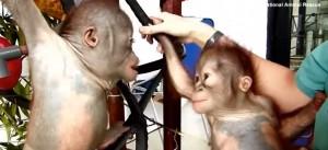 Orango incontra prima volta suo simile e lo bacia