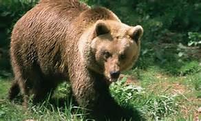 Un orso dei Pirenei