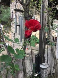 Guarda la versione ingrandita di Primavera  a Roma. Una rosa, fiorita in questo giorni o rimasta dall'autunno?
