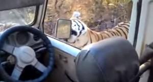 YOUTUBE Tigre al safari mastica specchietto jeep