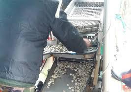 Pesca alle vongole, da febbraio anche sottotaglia. Le novità