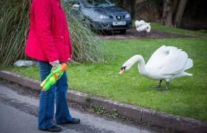 YOUTUBE Cigni aggressivi: anziani si difendono con i bastoni