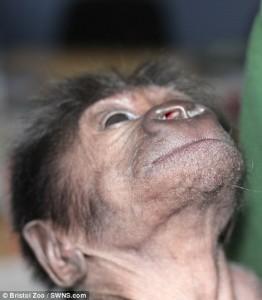 YOUTUBE Ginecologo fa partorire mamma gorilla col cesareo