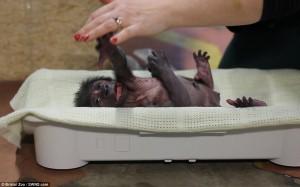 Ginecologo fa partorire gorilla col cesareo2