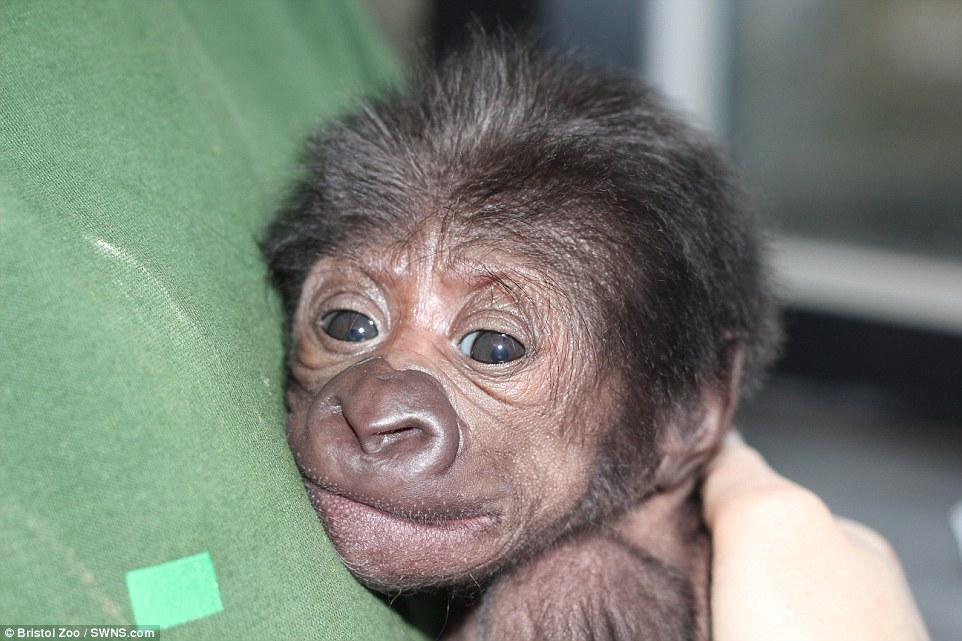 Ginecologo fa partorire gorilla col cesareo