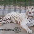 Kenny, tigre bianca col muso che sembra un orso2