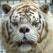 Kenny, tigre bianca col muso che sembra un orso