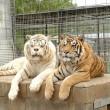 Kenny, tigre bianca col muso che sembra un orso5