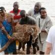 Kenya, cucciolo di giraffa salvato dopo 4 ore nel fiume4