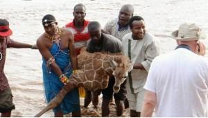 Guarda la versione ingrandita di Kenya, cucciolo di giraffa salvato dopo 4 ore nel fiume FOTO