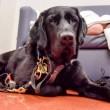 Labrador e bimbo autistico inseparabili anche in ospedale