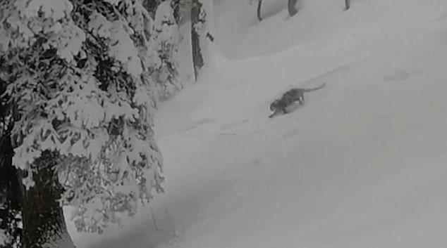Leonardo delle nevi ripreso da sciatori in India4