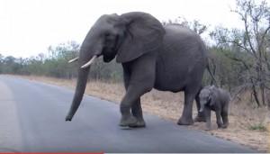 Mamma elefante difende cucciolo dai paparazzi2